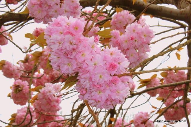 Dublin's Cherry Blossoms