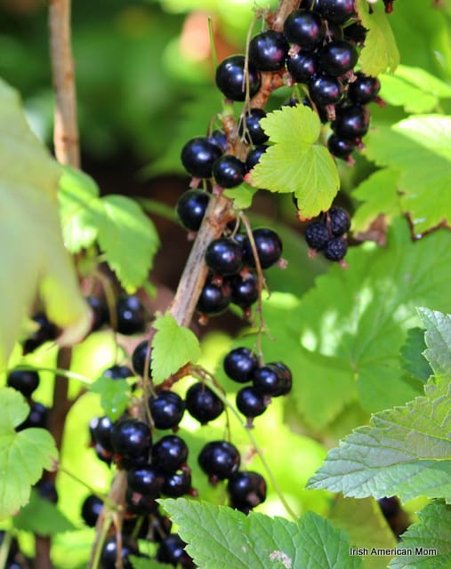 ripe berries on a vine of a blackcurrant bush