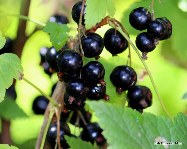 Growing Black Currants