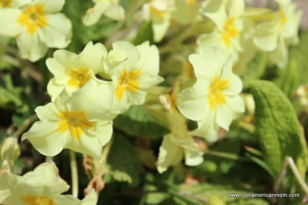 yellow primrose flowers surrounded by green leaves