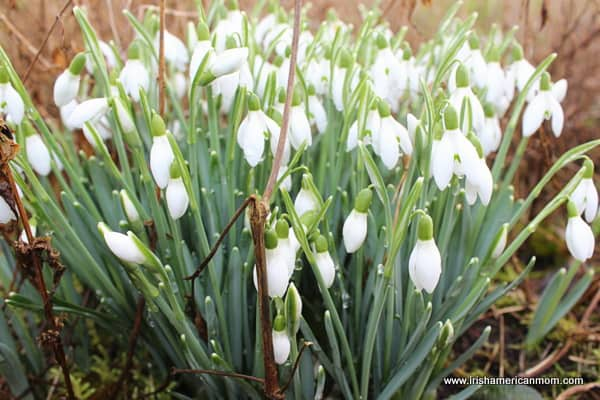 white belled snow drops growing in Ireland