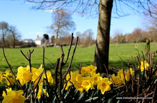 yellow daffodils blooming beneath a tree and beside a green field