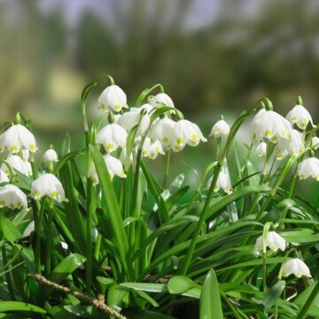 White snowdrop flowers growing in the open air