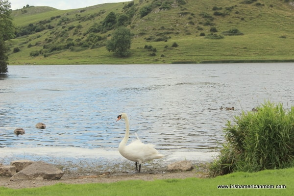 Waves lapping on shore as a swan stands beside the lake at Lough Gur