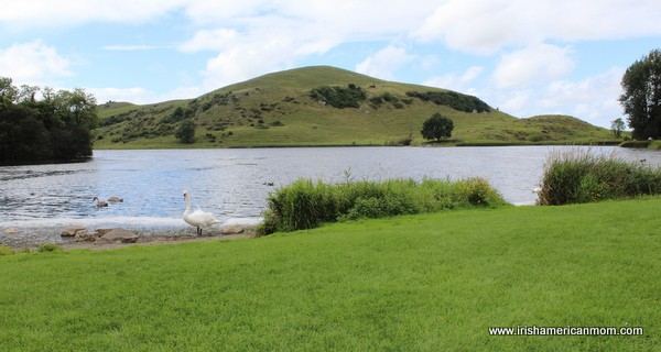 A Swan By Lough Gur