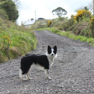 Black and white border collie on an Irish boreen