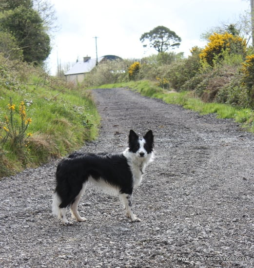 Black and white border collie on an Irish boreen