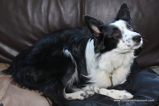 Border Collie On The Couch