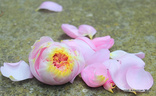A pink rose on the ground with petals falling off