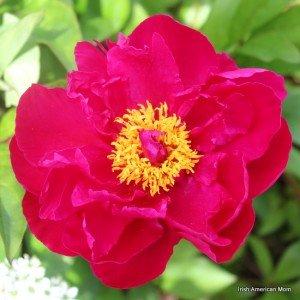 Red Peony Rose