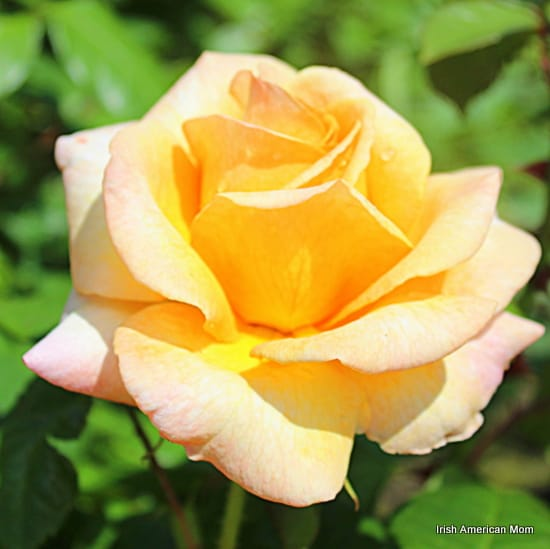 Yellow Rose In Full Bloom