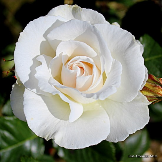 The rose as a symbol of ireland irish american mom white rose in bloom mightylinksfo