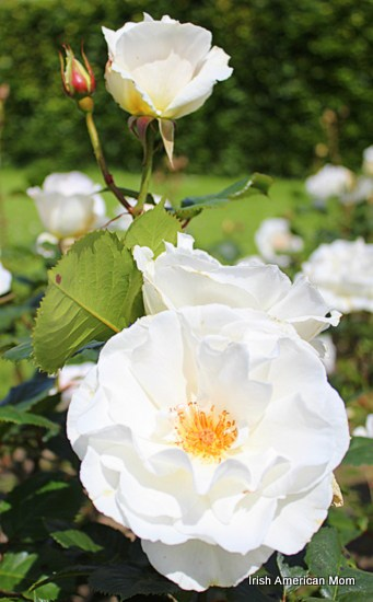 The rose as a symbol of ireland irish american mom wild white roses mightylinksfo