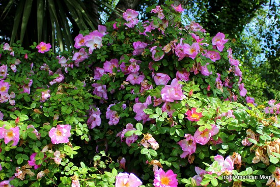 http://www.irishamericanmom.com/2014/06/16/the-rose-as-a-symbol-of-ireland