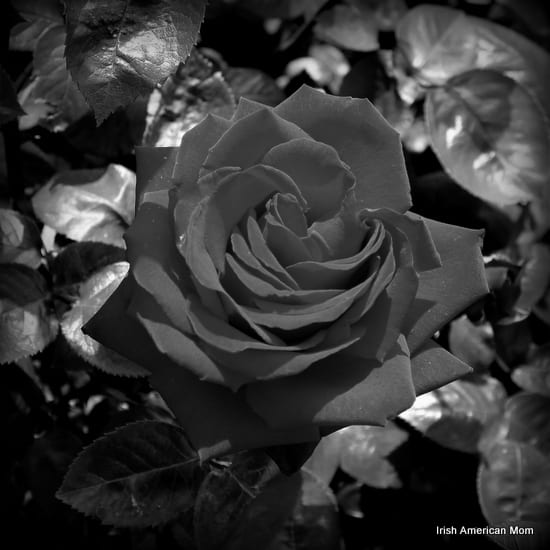 An Irish Black Rose