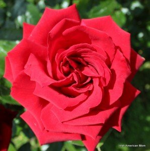 red rose in full bloom in Ireland