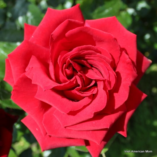 https://www.irishamericanmom.com/2014/06/16/the-rose-as-a-symbol-of-ireland