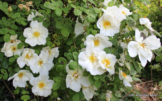 Wild Irish Roses In Bloom