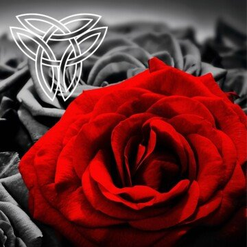 Red rose with black roses behind it and a white Trinity knot Celtic symbol