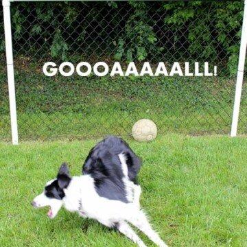 a soccer loving border collie dog scores a goal