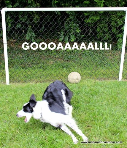 a soccer loving border collie dog scores a goal