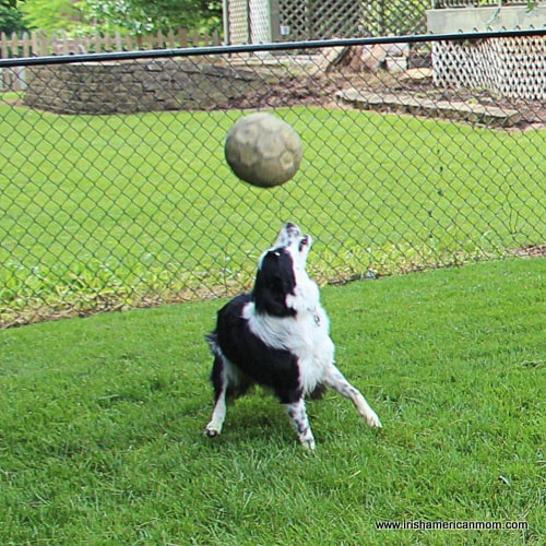 Border Collie Soccer Header