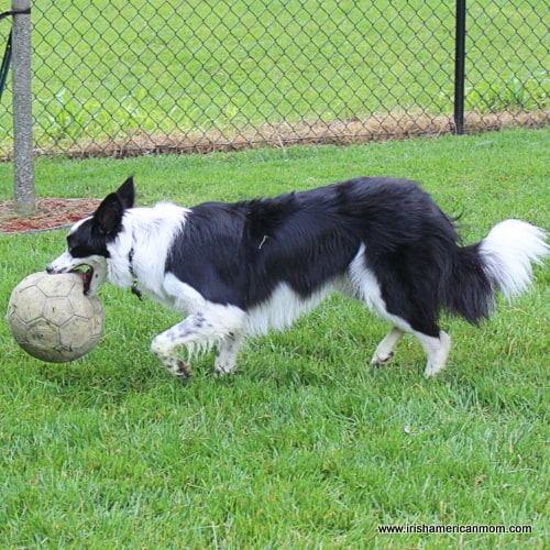 Soccer dribble border collie style