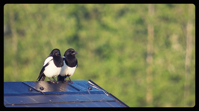 Two for Joy - Irish Magpies