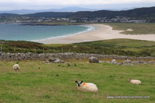 Looking at a sandy beach across a field of sheep