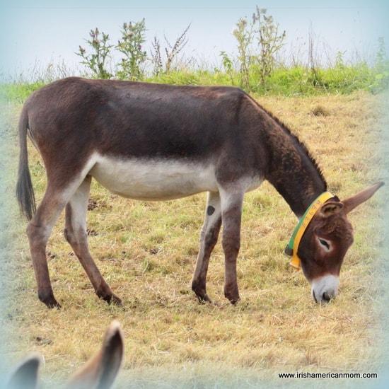 An Irish Donkey