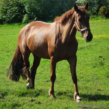 A horse walking through a green Irish field