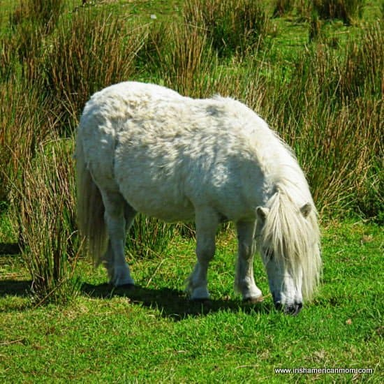 Irish Connemara Pony