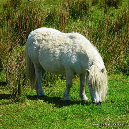 Irish Connemara Pony