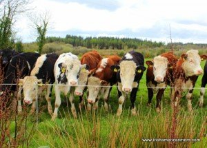 Red and white and black and white cows lined up in Ireland