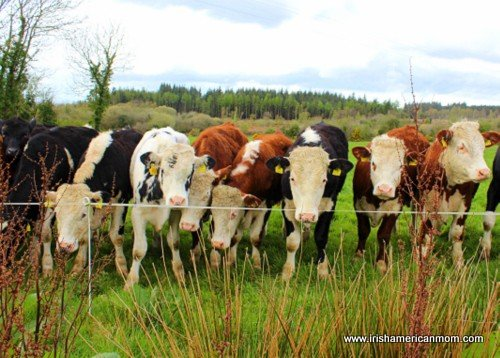 A line of Irish cows or yearlings
