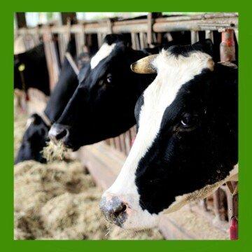 Cows feeding on hay