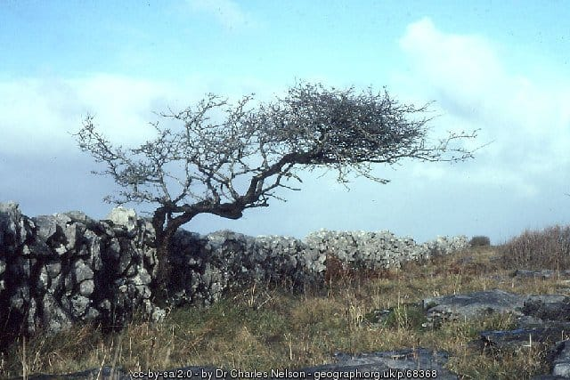 Windswept Hawthorn Tree in County Clare