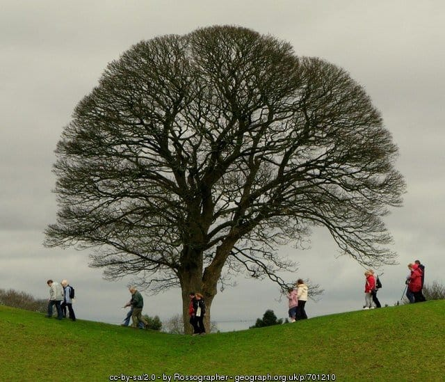An Irish Oak Tree