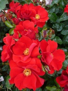 Yeats red rose