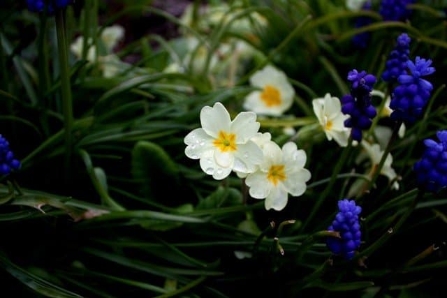 Primroses and bluebells
