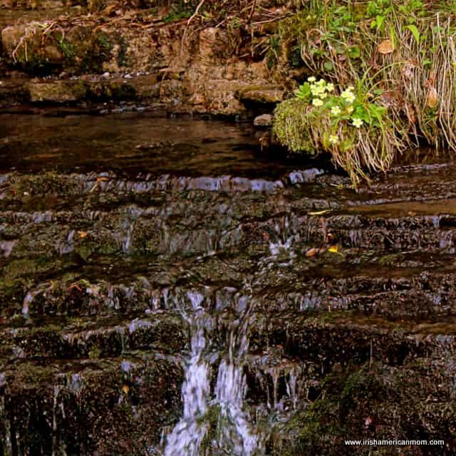 Primroses growing beside a river