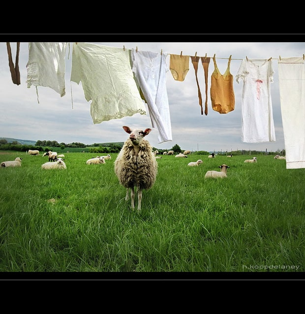 Sheep and a clothesline