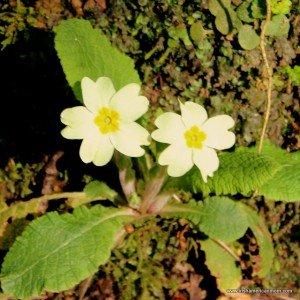 Two primroses in Ireland