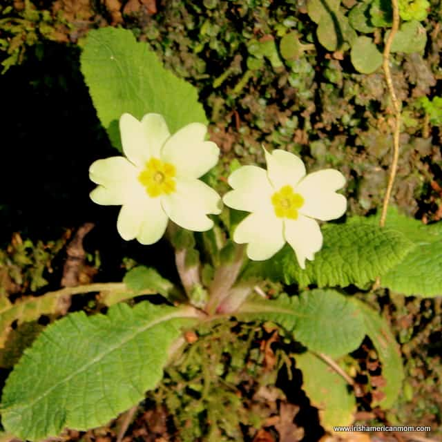 Two primroses growing from the one plant in Ireland
