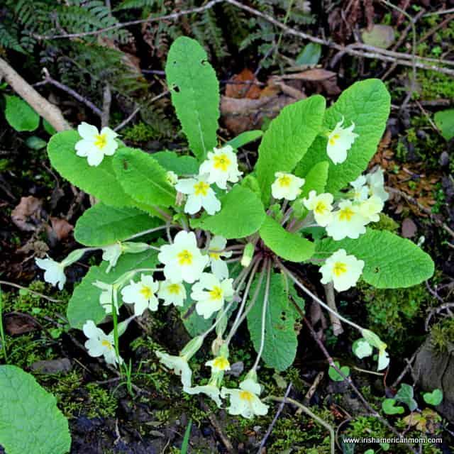 Wild Primroses in Ireland