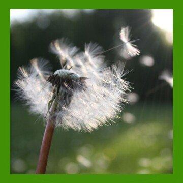 Dandelion seeds blowing in the wind