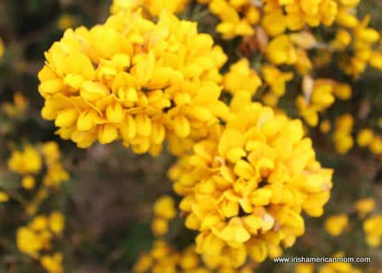 Furze The Yellow Flower Of The Irish Landscape Irish American Mom
