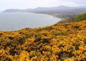 https://www.irishamericanmom.com/2015/06/07/furze-the-yellow-flower-of-the-irish-landscape/