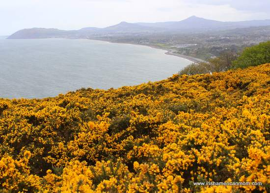 Furze bushes on Killiney Hill