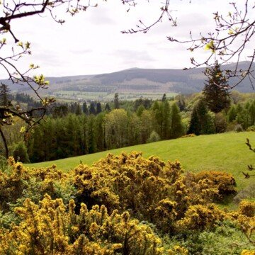 Yellow gorse growing beside a field, trees and a hill